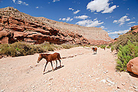 Horses, Arizona, Hualapai Canyon, Havasupai Nation.  Reservation, Grand Canyon region, Trail to Supai, Havasu Falls
