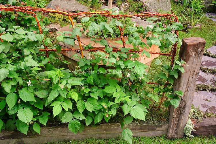 Fruit bushes on fence, berries, raspberries, berry growing