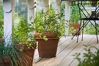 Italian parsley (Petroselinium crispum var. neapolitanum) culinary herb on porch in terra cotta pot (container)