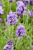 Lavender Lavandula angustifolia 'Thumbelina Leigh'