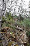 Pandanus Heath-Richea pandanifolia, Mt Field National Park, Tasmania