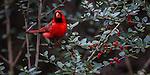 USA, Texas, Aransas Bay, Northern cardinal (Cardinalis cardinalis)