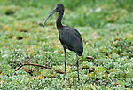 Glossy Ibis, Plegadis falcinellus, immature, Lake Awasa, Ethiopia, wading on weeds, fishing, Africa