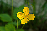 Celandine, Chelidonium majus is a European introduction and is poisonous to chickens.