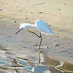 Egret standing at the shoreline on a summer day.