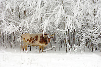 Single longhorn stands near snow covered treeline during snow storm.