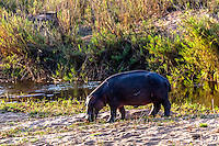 A hippo browsing along side the Sabi River in Kruger National Park