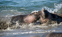 Male Northern Elephant Seals (Mirounga angustirostris) fighting.