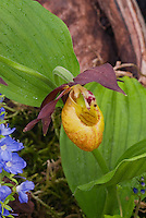 Ladyslipper Orchid Cypripedium calceolus hybrid with Veronica prostrata Trehane in garden