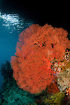 Fan corals in the shallows. Misool, Raja Ampat, West Papua, Indonesia,  January 2010