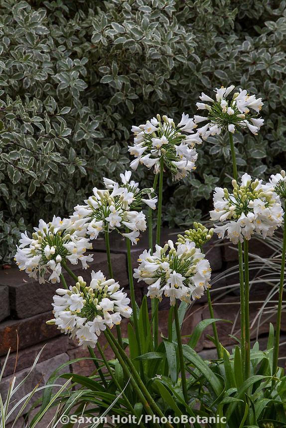 Agapanthus 'Ever White' flowering perennial; Sunset Plants