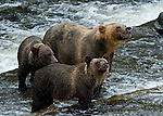 Female grizzly bear with two young cubs looking for salmon in the river