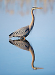 Great Blue Heron standing in water in a pond in Montana