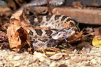 467164005 captive northern pacific rattlesnake crotalus viridis oreganus coiled in leaf litter sensing environment with tongue native to northern california and the pacific northwest