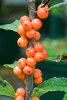 Ilex verticillata 'Winter Gold' berries