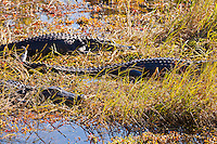 American alligators (Alligator mississippiensis) basking in the sun in the marshy part of a slough near the Anhinga Trail in Everglades National Park, Florida.