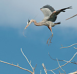 Great Blue Heron (Ardea herodias), makes a landing in a cottonwood tree with a stick for its nest.