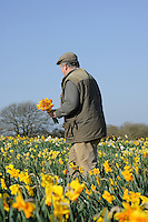 Ron Scamp working in the daffodil fields