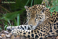 0615-1106  Jaguar, Belize, Panthera onca  © David Kuhn/Dwight Kuhn Photography