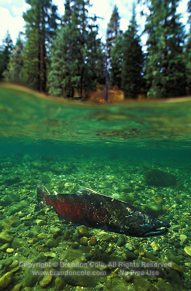 gx11246. Chinook Salmon (Oncorhynchus tshawytscha). Washington, USA..Photo Copyright © Brandon Cole. All rights reserved worldwide.  www.brandoncole.com..This photo is NOT free. It is NOT in the public domain. This photo is a Copyrighted Work, registered with the US Copyright Office. .Rights to reproduction of photograph granted only upon payment in full of agreed upon licensing fee. Any use of this photo prior to such payment is an infringement of copyright and punishable by fines up to  $150,000 USD...Brandon Cole.MARINE PHOTOGRAPHY.http://www.brandoncole.com.email: brandoncole@msn.com.4917 N. Boeing Rd..Spokane Valley, WA  99206  USA.tel: 509-535-3489