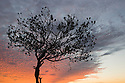 Australia, South Australia, Outback; tree silhouetted against colorful sky at sunrise