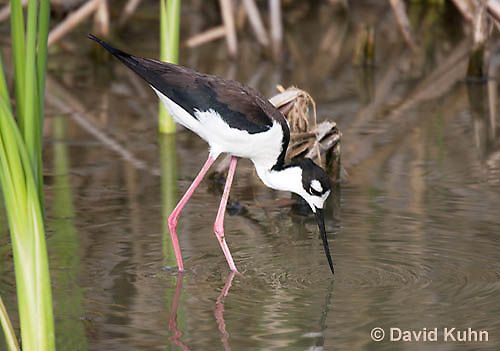 0905-0909  Black-necked Stilt Wading in Marsh Hunting for Prey, Himantopus mexicanus (formerly Ephippiorhynchus asiaticus) © David Kuhn/Dwight Kuhn Photography