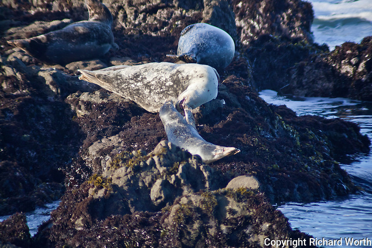An adult harbor seal growls, bares its teeth and lunges at a juvenile, teaching it that, although harbor seals haul out in groups, they keep their distance, a meter or so.  Thanks to www.seaworld.org for the insight into harbor seal behavior.  Bean Hollow State Beach on the Pacific Coast south of San Francisco.