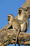 Vervet monkey, Cercopithecus aethiops, with young, Kruger National Park, South Africa