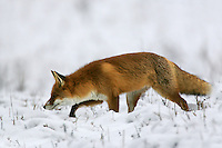 Red Fox (Vulpes vulpes), the Carpathians; Carpathian Mountains; Bieszczady Mountains; Poland
