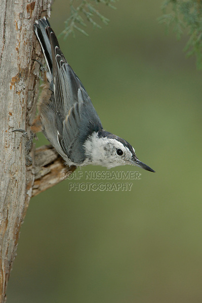 White-breasted Nuthatch, Sitta carolinensis, adult on juniper tree, Paradise, Chiricahua Mountains, Arizona, USA, August 2005
