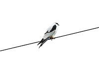 Black-Shouldered Kite, Yuragir NP, Australia