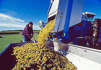 Grape Harvest, Lieb Family Cellars, Cutchogue, New York, Long Island, North Fork