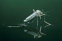Mosquito, Culicidae, adult emerging from pupa, Oberaegeri, Switzerland, Europe