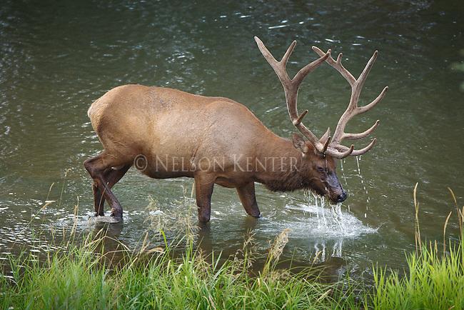 a bull elk feeding on plants growing under water in a creek in Montana