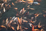 Coi fish swarm in the moat of the Citadel as tourist feed them in the former imperial capital of Hue, Vietnam. April 21, 2013.
