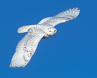 A first year male Snowy Owl (Bubo scandiacus) in flight (Michigan)