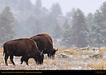 Bison in a Snowstorm, Obsidian Cliffs, Yellowstone National Park, Wyoming