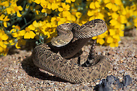 Western Diamondback Rattlesnake, Crotalus atrox, in defense posture