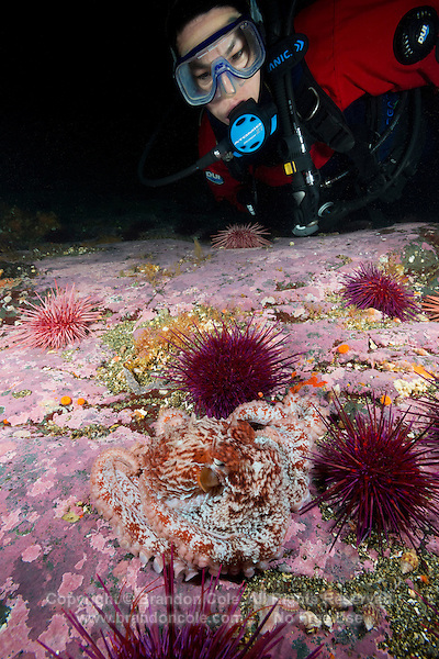 TA0808-D. Giant Pacific Octopus (Enteroctopus dofleini) and female scuba diver (model released). Very small juvenile octopus camouflaged on bottom among Red Sea Urchins (Stronglyocentrotus franciscanus). British Columbia, Canada, Pacific Ocean.<br /> Photo Copyright &copy; Brandon Cole. All rights reserved worldwide.  www.brandoncole.com