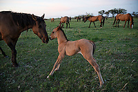 A mare nuzzles her foal as the rest of the Gila herd grazes in the field.  Mustangs are protected by law since 1971 when Wil Horse Annie lobbied congress.<br /> Gila herd with the International Society for the Protection of Mustangs and Burros. Three herds are  cared for at the oldest wild horse organization founded in 1960.  Karen Sussman is the third president, . Wild Horse Annie, Velma Johnston, was the first. Annie, along with Helen Reilly worked together for the passage of the 1971 Wild Horses and Burros Act to protect horses from slaughter and inhumane treatment.