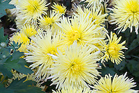 Chrysanthemum 'Sea Urchin' cactus type yellow with gold center showing many spiky flowers