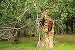 T-164 Fig tree in Emmaus