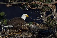 Bald Eagle Nest (Haliaeetus leucocephalus)--adult with two week old eaglet in nest in tall ponderosa pine tree.  Oregon.  April.