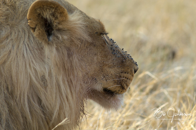 Male lion (panthera leo) resting after the night's hunt. Blood left in his face attracts flies.<br /> The Xakanaxa side of Moremi in the Okavango Delta, Botswana.<br /> September 2007.