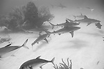Grand Bahama Island, The Bahamas; seven Caribbean Reef Sharks (Carcharhinus perezi) swimming circles over the sandy bottom, past coral patch reefs, a Black Grouper,Horse-eye Jacks and Yellowtail Snapper fish