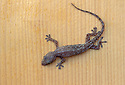 Common House Gecko, Hemidactylus frenatus; Hawaii.