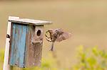 Eastern Bluebird with Katydid