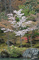 Red camelia blossoms are scattered on the ground behind a cherry blossom tree in the gardens of Tenryu-ji Temple, Kyoto