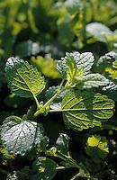 Europe/France/Auvergne/12/Aveyron/Les Homs-du-Larzac: Menthe dans le jardin de plantes aromatiques de Pierre-Yves de Boissieu