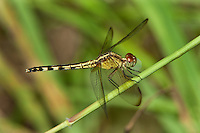 340350012 a wild female band-winged dragonlet erythrodiplax umbrata perches on a grass stem at santa ana national wildlife refuge hidalgo county in the rio grande valley in south texas